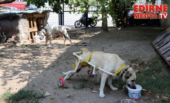 Yürüyemeyen Köpeğe yürüteç yaptı