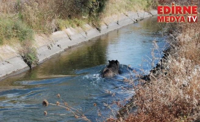 Domuz sulama kanalına düştü
