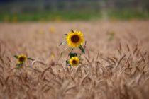 """""""Sarı gelin""""in uyanışı büyülüyor"""