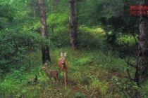 Karacalar doğal ortamında